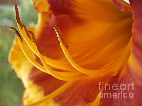 Daylily Sunset by Iris Newman