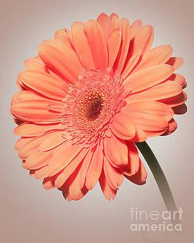 Dazzling Gerbera Daisy by Anita Oakley