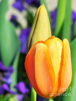 Dazzling Tulip by Chad and Stacey Hall