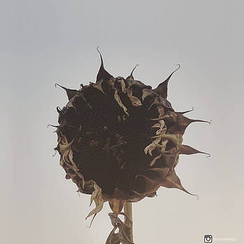 Dead Sunflower by Miguel Angel