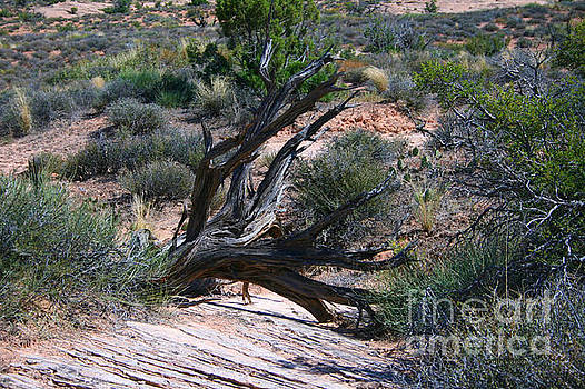 Corey Ford - Dead Tree, Arches National Park