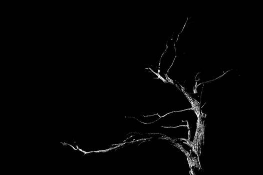 Dead Tree on Black Background by Geoffrey Coelho