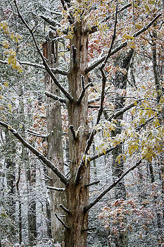 Dead tree with light snow by Natalie Schorr