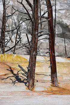 Tibor Vari - Dead Trees Mammoth Hot Springs in Yellowstone