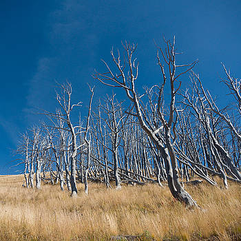 Dead trees, Mount Washburn, Yellowstone National Park by Paul Duncan