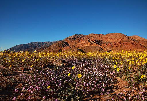 Susan Rovira - Death Valley Superbloom 2