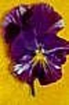 Deep Lilac Pansy by Shirley Sacks