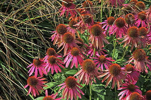 Deep Pink Echinacea Straw Flowers Green Leaf and Grass Background 2 9132017 by David Frederick