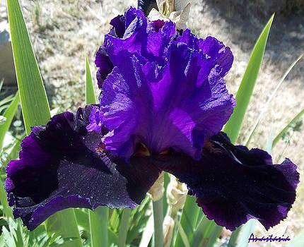 Deep Purple Iris Agape Gardens by Anastasia Savage Ealy