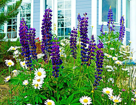 Robert Meyers-Lussier - Deep Purple Lupine and Daisies