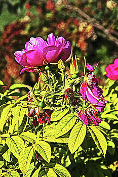 Deep Purplish Pink Rose Blossoms Buds Fading Petals Bright Green and Autumn Leaves Background 2 915  by David Frederick