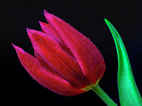 Deep Red Tulip by Garry Gay