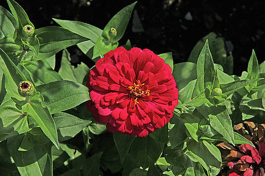 Deep Red Zinnia Dark Green leaves and Black background 2952017 by David Frederick