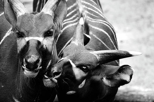 Deer  by Alessia Cerqua
