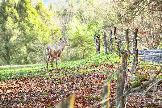 Deer and Fence in Cades Cove by Carol Mellema