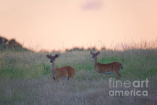 Deer at Yorktown Battlefield by Rachel Morrison