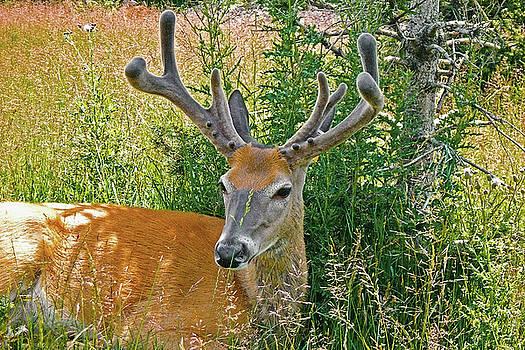 Deer buck by Asbed Iskedjian