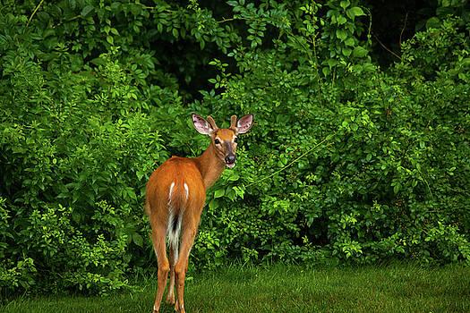 Karol Livote - Deer Buck