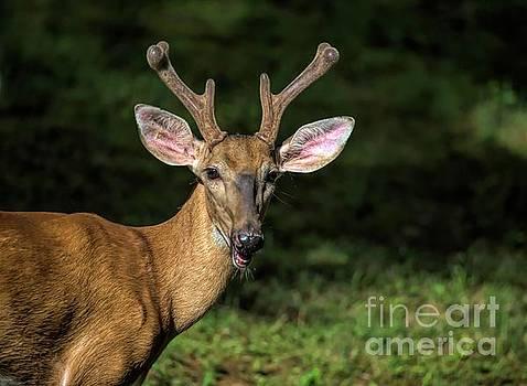 Deer by Buddy Morrison