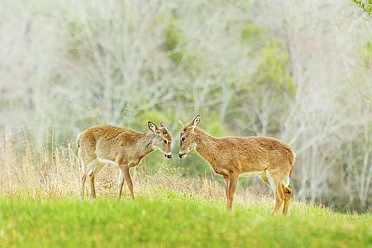 Deer Greet Each Other in Cades Cove in Smoky Mountains by Carol Mellema