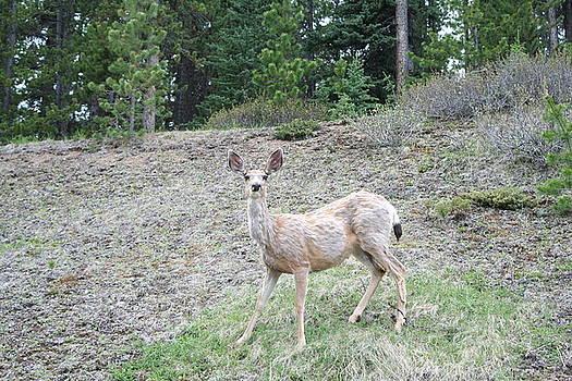 Deer by Hazel Rice