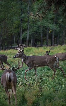 Deer herd by Roy Nierdieck