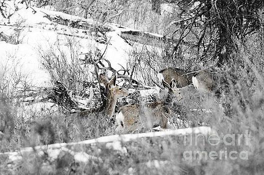 Steve Krull - Deer in a Colorado Snowstorm