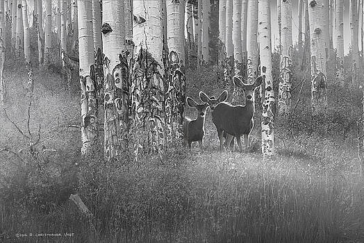 Deer In Aspen Forest by R christopher Vest
