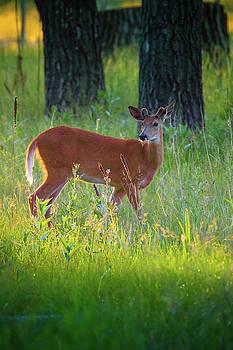 Deer In Forest Sunlight by John De Bord