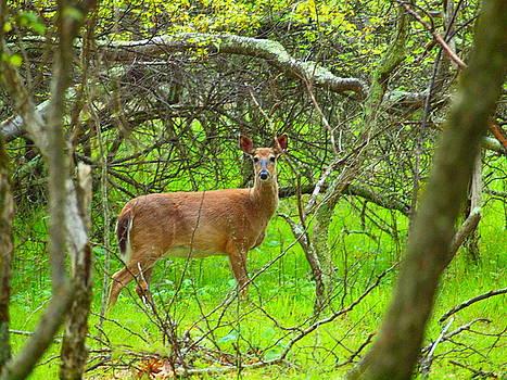Tammy Bullard - Deer in Shanendoah Mountains