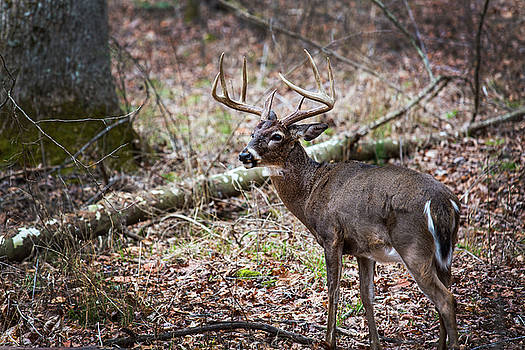 Deer Male In Forest in Smoky Mountains National Park by Carol Mellema