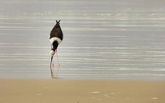 Delicate Black-necked stilt by the ocean by Helissa Grundemann