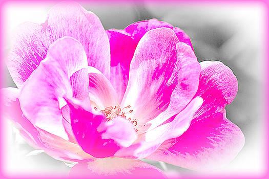Barry Jones - Delicate Bloom - Rose Floral