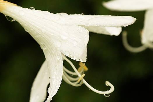 Delicate Hosta Bloom by Amanda Kiplinger