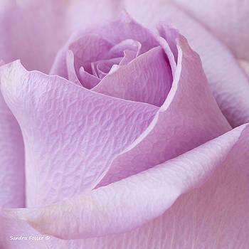 Sandra Foster - Delicate Lavender Rose Macro