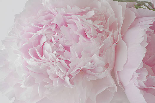 Sandra Foster - Delicate Pink Peony Flowers