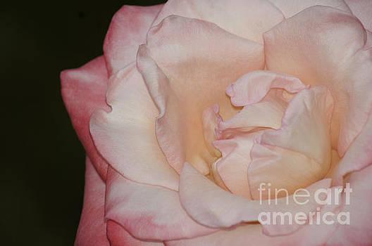 Delicate Pink Rose by Debra Crank