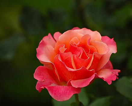 Edward Sobuta - Delicate Rose