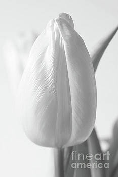Delicate Tulip by Anita Oakley