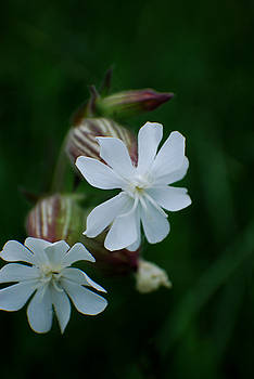 Michelle  BarlondSmith - Delicate White WildFlower