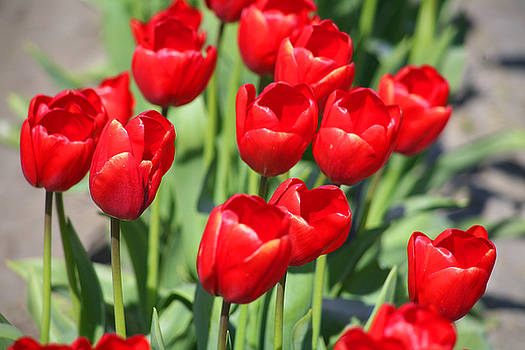 Delicious Tulips by Mary Gaines