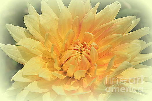 Delightful Dahlia by Dora Sofia Caputo Photographic Design and Fine Art