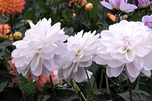 Delightful Dahlia Garden by Lorrie Morrison