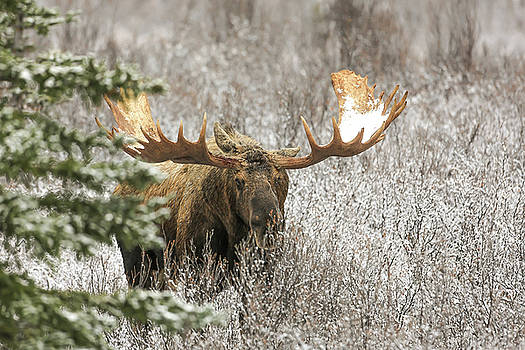 Denali National Park Bull Moose by Sam Amato