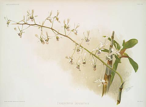 Ricky Barnard - Dendrobium Imperatrix