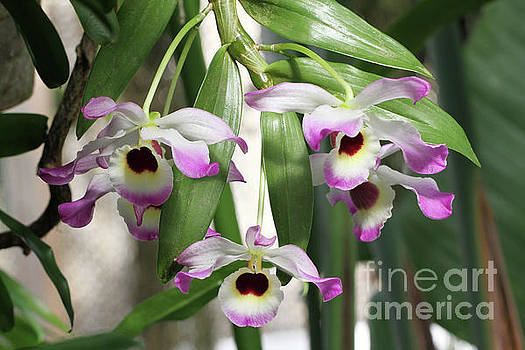 Dendrobium Nobile Orchids by Judy Whitton