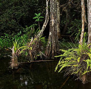 Dense Everglades Swamp by Matt Tilghman