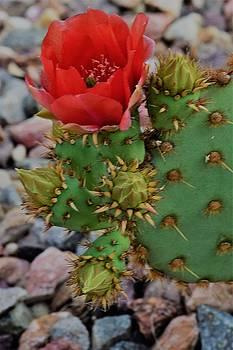 Desert Beauty by John Glass