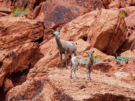 Desert Bighorn Sheep Adult and Lamb Standing on Boulder Valley of Fire Las Vegas by Scott Leslie