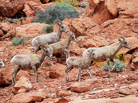 Desert Bighorn Sheep Group Adults and Lambs Valley of Fire Las Vegas by Scott Leslie